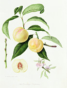 Flora Painting Prints - The Conudray Nectarine Print by William Hooker