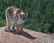 Lions Mixed Media Prints - The Cougar 1 Print by Ernie Echols