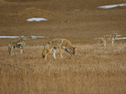 Dogs Digital Art Metal Prints - The Coyotes Painterly Metal Print by Ernie Echols