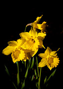 Daffodils Posters - The Daffodils Poster by David Patterson
