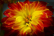 Maryjane Armstrong Framed Prints - The Dahlias Drama Framed Print by MaryJane Armstrong