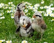 Unique Gift Ideas Photo Posters - The Daisy Chicks Poster by Andrea Lightfoot