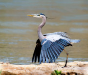 Heron Prints - The Dance Print by Betty LaRue