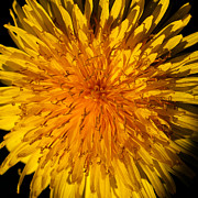 Spring Florals Photos - The Dandelion Flower by David Patterson