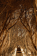 Ballymena Prints - The Dark Hedges Print by Pierre  TORNERO