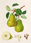 Food And Beverage Paintings - The DAuch Pear by William Hooker