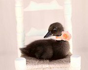 Ducklings Framed Prints - The Debutante Framed Print by Amy Tyler