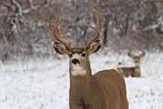 Mule Deer Buck Photograph Photos - The Defender by Jim Garrison
