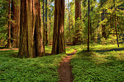 California Artist Prints - The Destination - California Redwoods I Print by Dan Carmichael