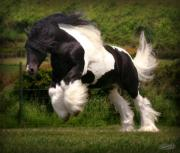 Gypsy Cob Framed Prints - The Diplomat Framed Print by Elizabeth Sescilla