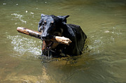 Dog Swimming Metal Prints - The Dog Days of Summer Metal Print by Bill Cannon