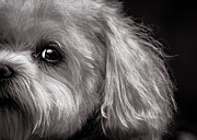 White Maltese Prints - The Dog Next Door Print by Bob Orsillo
