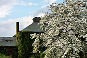 Trees Blossom Prints - The Dogwood  Print by JC Findley