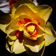 Spring Florals Photos - The Double Daffodil by David Patterson