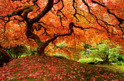 Japanese Maple Posters - The Dragon Poster by Aaron Reed