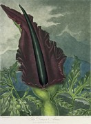 Phallic Posters - The Dragon Arum Poster by Peter Charles Henderson