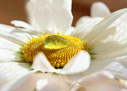 White Flower Photos - The drop in the sun by Kristin Kreet