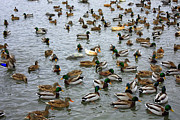 Duck Pond Posters - The Duck Pond Poster by Carol Groenen