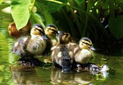 Moanalua Framed Prints - The Duckling Gang Framed Print by Craig Wood
