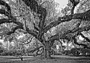 White City Park Framed Prints - The Dueling Oak bw Framed Print by Steve Harrington