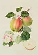 Pink Flower Branch Paintings - The Dutch Codlin by William Hooker