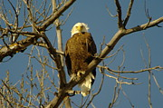 Bald Eagles Prints - The Eagle Looks Down Print by Jeff  Swan