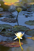 The Echo Of A Lotus Flower Print by Bill Mock
