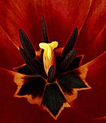 Gardening Tulips Photos - The Elder  by Chris Berry