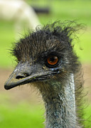 Cherie Haines - The Emu
