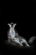 Lemur Catta Prints - The Epiphany Print by Ashley Vincent