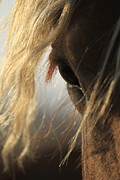 Belgian Draft Horse Photos - The eye by Crystal Socha