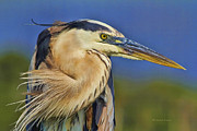 Heron Portrait Posters - The Eye of Blue Poster by Deborah Benoit