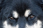 Sled Dog Framed Prints - The Eyes of a Sled Dog Framed Print by Dyle   Warren