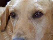 Brown Dogs Photos - The Eyes Say It All by Mary Deal