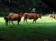 Limousin Posters - The Farm Poster by Greg Patzer