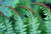 Denyse Duhaime - The Fern
