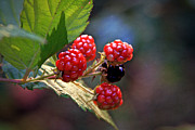 Black Berries Posters - The Flavor of Summer Poster by Sennie Pierson