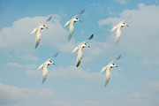 Flock Of Bird Art - The Flight by Kim Hojnacki