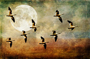 Geese And Moon Prints - The Flight Of The Snow Geese Print by Lois Bryan