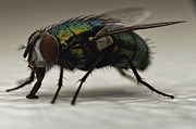 Ver Sprill Posters - The Fly Macro Poster by Michael Ver Sprill