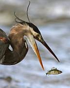 Ardea Herodias Posters - The flying fish Poster by Mircea Costina Photography
