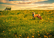 Meadow Metal Prints - The Fox and The Cow Metal Print by Bob Orsillo