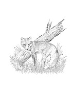 Wildlife Prints Drawings Framed Prints - The Fox Framed Print by Carl Genovese