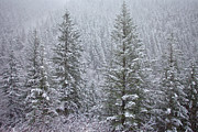 Christmas Trees Posters - The Frozen Forest Poster by Darren  White