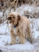 Goldendoodle Prints - The Fur Coat Print by JC Findley