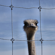 Ostrich Photo Framed Prints - The Gaze  Framed Print by Tom Druin