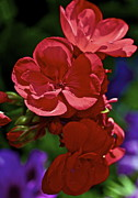 Red Geranium Posters - The Geraniums Poster by Gwyn Newcombe