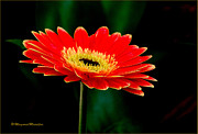 Judith Meintjes - The Gerbera Striking And...