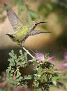 Hummingbird Photos - The Getaway  by Saija  Lehtonen