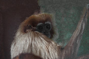 Gibbons Prints - The Gibbon Print by Ernie Echols